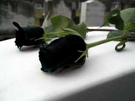 Crna ruza seme
